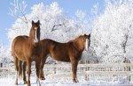 konie w zimie